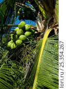 Купить «Coconuts on Coconut palm tree (Cocos nucifera), Osa Peninsula, Corcovado National Park, Costa Rica», фото № 25354267, снято 21 октября 2018 г. (c) Nature Picture Library / Фотобанк Лори