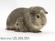 Купить «Yellow-agouti adult and baby Guinea pigs», фото № 25355551, снято 19 октября 2019 г. (c) Nature Picture Library / Фотобанк Лори