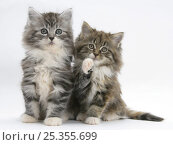 Купить «Two Maine Coon kittens, 8 weeks, one with its paw raised», фото № 25355699, снято 14 декабря 2019 г. (c) Nature Picture Library / Фотобанк Лори