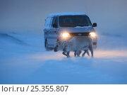 Купить «Svalbard reindeer (Rangifer tarandus platyrhynchus) walking in front of car, Spitsbergen, Svalbard, March 2009», фото № 25355807, снято 12 ноября 2019 г. (c) Nature Picture Library / Фотобанк Лори