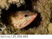 Comber (Serranus cabrilla) looking out of hole, Larvotto Marine Reserve, Monaco, Mediterranean Sea, July 2009. Стоковое фото, фотограф Wild Wonders of Europe / Banfi / Nature Picture Library / Фотобанк Лори