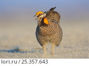 Male Greater Prairie-Chicken (Tympanachus cupido) vocalizing on a lek. This species is currently endangered. Ft. Pierre National Grassland, South Dakota, USA. Стоковое фото, фотограф Gerrit Vyn / Nature Picture Library / Фотобанк Лори