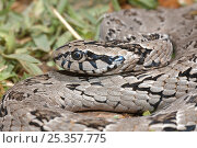 Rhombic night adder (Causus rhombeatus) portrait, Kysna, Western Cape, South Africa. Стоковое фото, фотограф Tony Phelps / Nature Picture Library / Фотобанк Лори