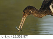 Купить «Juvenile Black stork (Ciconia nigra) with fish in beak, Elbe Biosphere Reserve, Lower Saxony, Germany, September 2008», фото № 25358871, снято 16 февраля 2019 г. (c) Nature Picture Library / Фотобанк Лори