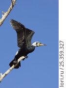 Купить «Common / Great cormorant (Phalacrocorax carbo) on branch, Lake Kerkini, Macedonia, Greece, February 2009», фото № 25359327, снято 19 августа 2018 г. (c) Nature Picture Library / Фотобанк Лори