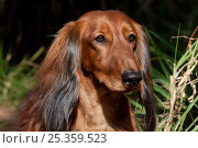 Купить «Domestic dog, long-haired standard Dachshund, Sarasota, Florida, USA», фото № 25359523, снято 16 февраля 2019 г. (c) Nature Picture Library / Фотобанк Лори