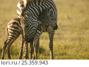 Common / Burchell's zebra (Equus quagga) mother with newly born foal, Masai Mara, Kenya. Стоковое фото, фотограф Andy Rouse / Nature Picture Library / Фотобанк Лори