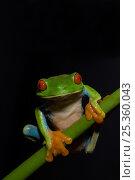 Купить «Red eyed Tree Frog {Agalychnis callidryas} on vegetation, Costa Rica», фото № 25360043, снято 21 апреля 2019 г. (c) Nature Picture Library / Фотобанк Лори