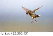 Red-throated Pipit (Anthus cervinus) carrying insect prey, in flight, Norway. Magic Moments book plate. Стоковое фото, фотограф Markus Varesvuo / Nature Picture Library / Фотобанк Лори