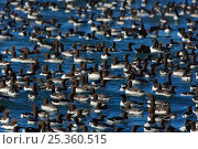 Купить «Raft of courting adult Guillemots / Common Murres (Uria aalge). Murres assemble in large, noisy rafts adjacent to cliffs prior to nesting. Duck Island, Alaska, USA», фото № 25360515, снято 19 августа 2018 г. (c) Nature Picture Library / Фотобанк Лори