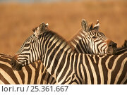 Two Burchell's zebras (Equus quagga) mutual resting allows tail to protect face from flies, Masai Mara, Kenya. Стоковое фото, фотограф Andy Rouse / Nature Picture Library / Фотобанк Лори