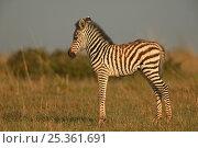Common / Burchell's zebra (Equus quagga) foal, Masai Mara, Kenya. Стоковое фото, фотограф Andy Rouse / Nature Picture Library / Фотобанк Лори