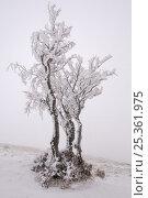 Купить «Frost covered tree, Ballon des Vosges Nature Park, Haut Rhin, Alsace, France, December 2008», фото № 25361975, снято 19 июля 2018 г. (c) Nature Picture Library / Фотобанк Лори