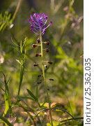 Купить «Tassel hyacinth (Muscari comosum) Italy», фото № 25362035, снято 26 мая 2018 г. (c) Nature Picture Library / Фотобанк Лори