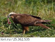 Купить «Marsh Harrier (Circus aeroginosus) female with prey, Sultanate of Oman,», фото № 25362535, снято 16 февраля 2019 г. (c) Nature Picture Library / Фотобанк Лори
