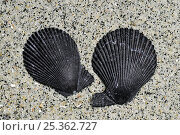 Купить «Variegated scallop (Chlamys varia / Mimachlamys varia) shells on beach showing the ears of right and left valves, Brittany, France», фото № 25362727, снято 12 декабря 2017 г. (c) Nature Picture Library / Фотобанк Лори