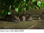 Купить «Brown rats {Rattus norvegicus} foraging on garden pation at night, Sussex, UK», фото № 25363059, снято 17 августа 2018 г. (c) Nature Picture Library / Фотобанк Лори