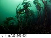Купить «Forest kelp (Laminaria hyperborea) with Klas Malmberg, Saltstraumen, Bodø, Norway, October 2008», фото № 25363631, снято 20 ноября 2019 г. (c) Nature Picture Library / Фотобанк Лори