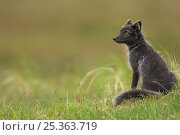 Купить «Arctic fox (Alopex lagopus) sitting close to den, in summer coat, Stekenjokk, Jämtland, Sweden.», фото № 25363719, снято 18 марта 2019 г. (c) Nature Picture Library / Фотобанк Лори