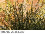 Купить «Sedge (Carex sp) on the bank of Proscansko Lake, Upper Lakes, Plitvice Lakes National Park, Croatia, October 2008», фото № 25363787, снято 18 сентября 2018 г. (c) Nature Picture Library / Фотобанк Лори