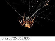 Купить «Orb weaver spider (Araneus angulatus) a large, rare orb-weaving spider that builds webs of sometimes over 4 feet long, UK», фото № 25363835, снято 26 сентября 2018 г. (c) Nature Picture Library / Фотобанк Лори