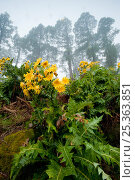 Купить «Flowering plant (Sonchus sp) with flowers fading, in mist, La Palma, Canary Islands, Spain, March 2009», фото № 25363851, снято 23 мая 2018 г. (c) Nature Picture Library / Фотобанк Лори
