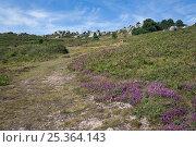 Купить «Footpath at Cabo da Udra, Galicia, Spain. July 2008.», фото № 25364143, снято 25 мая 2018 г. (c) Nature Picture Library / Фотобанк Лори