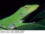 Neotropical green anole (Norops biporcatus) portrait, Montes Azules Biosphere Reserve, Lacandon Rainforest, Mexico, August. Стоковое фото, фотограф Claudio Contreras / Nature Picture Library / Фотобанк Лори