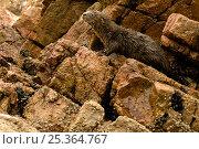 Marine otter (Lontra felina) cub on coastal rocks, Paracas National Reserve, Peru, Endangered species. Стоковое фото, фотограф Mark Bowler / Nature Picture Library / Фотобанк Лори