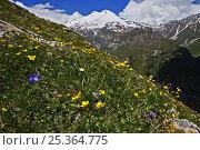 Купить «Alpine meadow with flowers, Mount Elbrus in the distance, Caucasus, Russia, June 2008», фото № 25364775, снято 24 сентября 2018 г. (c) Nature Picture Library / Фотобанк Лори