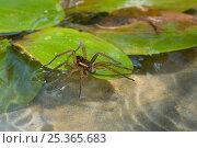 Купить «Raft spider (Dolomedes fimbriatus) on water, UK, Pisauridae», фото № 25365683, снято 10 декабря 2018 г. (c) Nature Picture Library / Фотобанк Лори