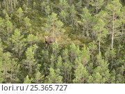 Купить «Aerial view of Moose (Alces alces) in forest, Kemeri National Park, Latvia, June 2009», фото № 25365727, снято 23 января 2018 г. (c) Nature Picture Library / Фотобанк Лори