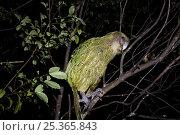 Купить «Kakapo (Strigops habroptila) wild male known as Sirocco climbing along branch in tree, night parrot, Codfish Island, off Stewart Island, southern New Zealand, Critically endangered species», фото № 25365843, снято 5 августа 2020 г. (c) Nature Picture Library / Фотобанк Лори