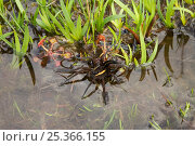 Купить «Raft spider (Dolomedes fimbriatus) on water, UK», фото № 25366155, снято 10 декабря 2018 г. (c) Nature Picture Library / Фотобанк Лори