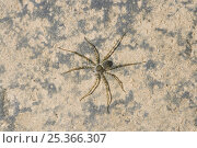 Купить «Juvenile Raft spider {Dolomedes sp} Costa Rica», фото № 25366307, снято 10 декабря 2018 г. (c) Nature Picture Library / Фотобанк Лори