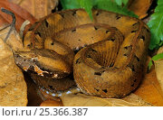 Rainforest hognose pitviper (Porthidium nasutum) Montes Azules Biosphere Reserve, Lacandon Rainforest, Mexico, September. Стоковое фото, фотограф Claudio Contreras / Nature Picture Library / Фотобанк Лори