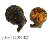 Купить «Variegated scallops (Chlamys / Mimachlamys varia), Belgium», фото № 25366427, снято 21 августа 2018 г. (c) Nature Picture Library / Фотобанк Лори