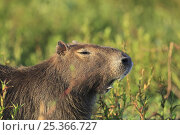 Купить «Capybara (Hydrochoerus hydrochaeris) showing incisor teeth as it yawns, Esteros del Ibera, Argentina», фото № 25366727, снято 17 февраля 2020 г. (c) Nature Picture Library / Фотобанк Лори