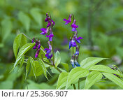 Купить «Vetch (Lathyrus odoratus) in flower, Matsalu National Park, Estonia, May 2009», фото № 25366907, снято 19 июля 2018 г. (c) Nature Picture Library / Фотобанк Лори