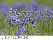 Купить «Siberian irises (Iris sibirica) in flower, Eastern Slovakia, Europe, June 2009», фото № 25367243, снято 20 апреля 2018 г. (c) Nature Picture Library / Фотобанк Лори