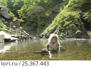 Купить «Female Japanese macaque (Macaca fuscata) bathing in a hot spring, only females and young bathe, Summer, Jigokudani, Joshinetsu Kogen NP, Nagano, Japan», фото № 25367443, снято 27 апреля 2018 г. (c) Nature Picture Library / Фотобанк Лори