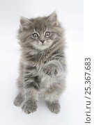 Купить «Maine Coon kitten, 8 weeks, standing up, with paws raised», фото № 25367683, снято 21 июля 2018 г. (c) Nature Picture Library / Фотобанк Лори