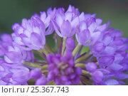 Купить «Close-up of Pyramidal orchid (Anacamptis pyramidalis) flower, Parco Naturale di Monte Cerreto, San Marino, May 2009», фото № 25367743, снято 23 июля 2018 г. (c) Nature Picture Library / Фотобанк Лори