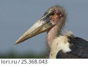 Marabou stork (Leptoptilos crumeniferus) portrait, Uganda. Стоковое фото, фотограф Edwin Giesbers / Nature Picture Library / Фотобанк Лори