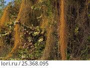 Купить «Love vine / Devil's gut (Cassytha filiformis) an invasive parasitic vine from Hawaii, UK», фото № 25368095, снято 16 августа 2018 г. (c) Nature Picture Library / Фотобанк Лори