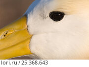 Купить «Waved albatross (Phoebastria irrorata) close-up of face, Punta Cevallos, Española Island, Galapagos Islands», фото № 25368643, снято 19 марта 2019 г. (c) Nature Picture Library / Фотобанк Лори