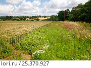 Купить «Unsown headland in wheatfield on farm, Essex, July 2007», фото № 25370927, снято 19 июля 2018 г. (c) Nature Picture Library / Фотобанк Лори