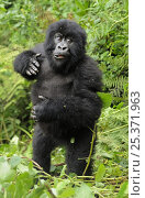Купить «Mountain gorilla (Gorilla beringei beringei) young gorilla beating its chest, Volcanoes NP, Virunga mountains, Rwanda», фото № 25371963, снято 15 августа 2018 г. (c) Nature Picture Library / Фотобанк Лори