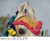 Купить «Close up of the curved ears of a grey Marwari mare in traditional colourful bridle, Bhavnagar, Gujarat, India, 2008», фото № 25372219, снято 13 декабря 2017 г. (c) Nature Picture Library / Фотобанк Лори