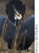Common / Great cormorant (Phalacrocorax carbo sinensis) display, Oosterdijk, Enkhuizen, Ijsselmeer, Netherlands, March 2009. Стоковое фото, фотограф Wild Wonders of Europe / Möllers / Nature Picture Library / Фотобанк Лори